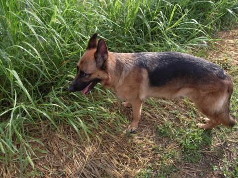 シェパードが草むらで遊んでいる画像