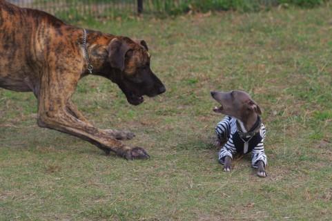 大型犬VS小型犬の画像