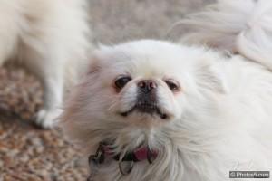 犬の避妊の画像