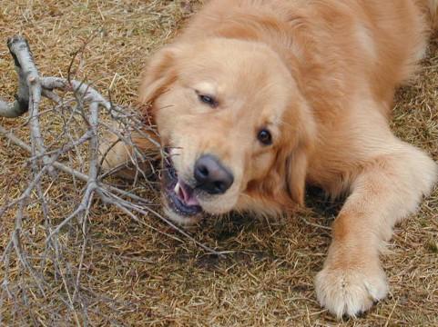 犬の去勢のデメリット画像