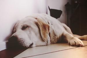 犬 寝ている