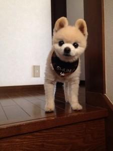 ポメラニアン 柴犬カット