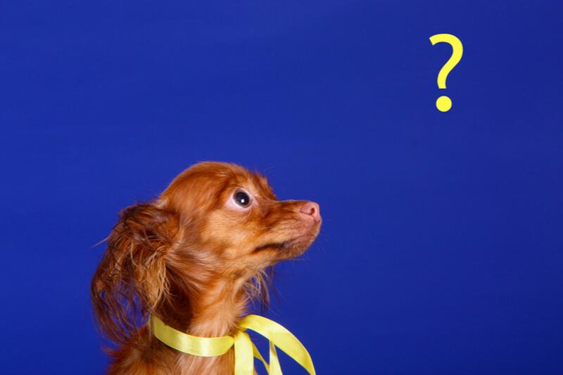 疑問に思う小型犬
