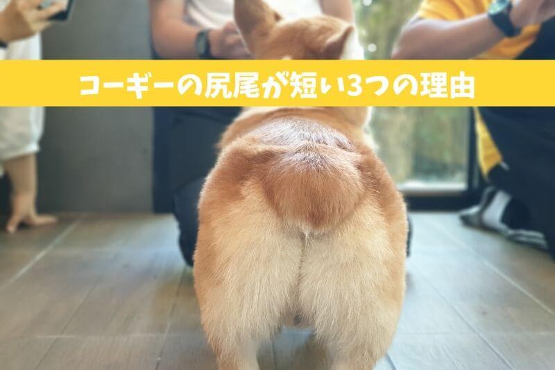 コーギーの尻尾が短い3つの理由|尻尾の長いコーギーとの違いが衝撃的