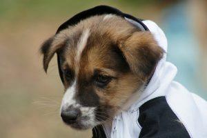 犬 垂れ耳