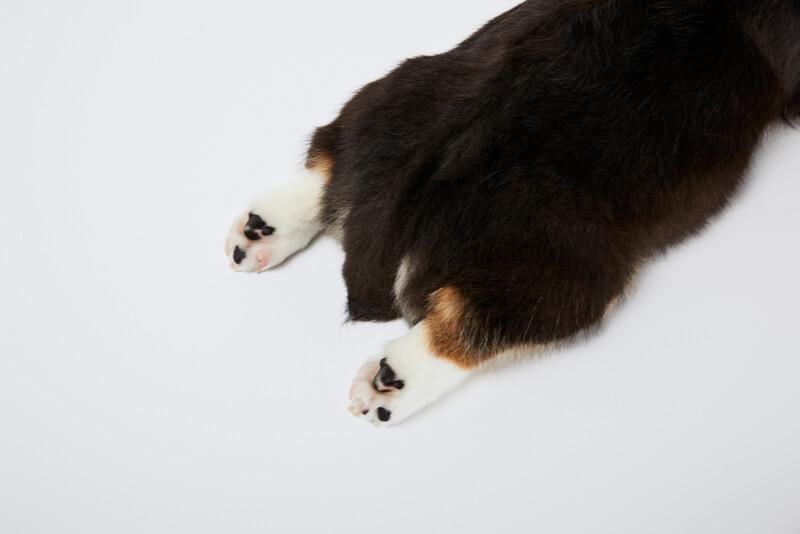 黒色のコーギーの尻尾とお尻と足の裏