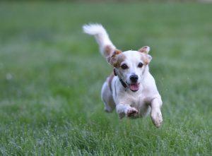 犬の関節炎におすすめの食事