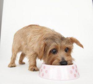 ドッグフードを食べる犬の画像