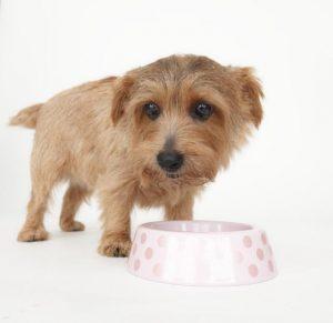 アランズを食べる高齢犬の画像