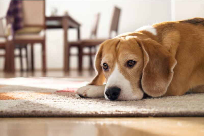 ガッカリと落ち込む犬