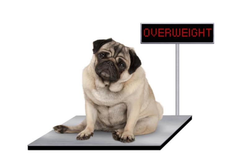 太ってしまった肥満の犬