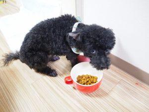 ドッグフードを食べるトイプードルの画像