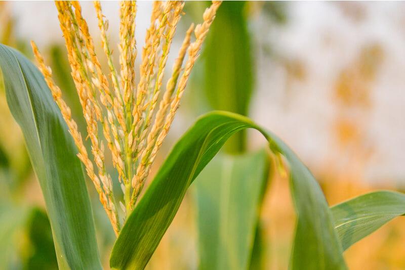 穀物は消化が悪い