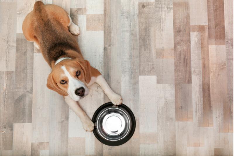 お皿を突き出してごはんをねだる犬