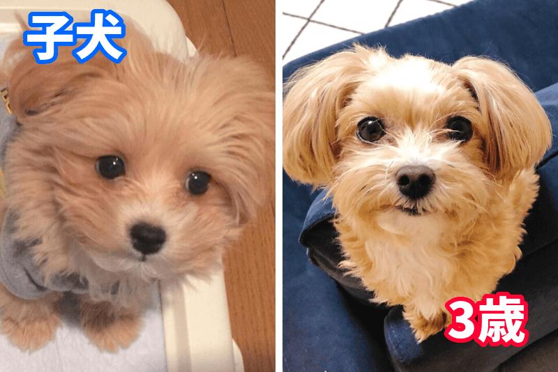 マルプーの子犬と成犬時を比較