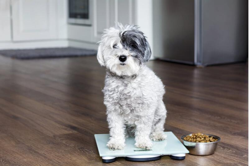 体重計に乗り、こちらを見つめる犬