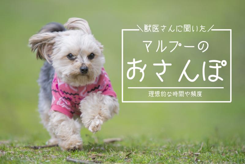 【獣医さん直伝】マルプーのベストな散歩時間と頻度を飼い主が解説