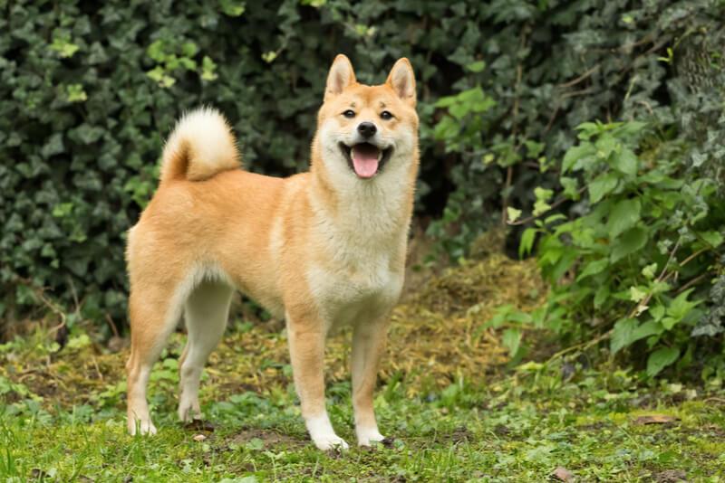 笑顔でこちたを見つめる柴犬