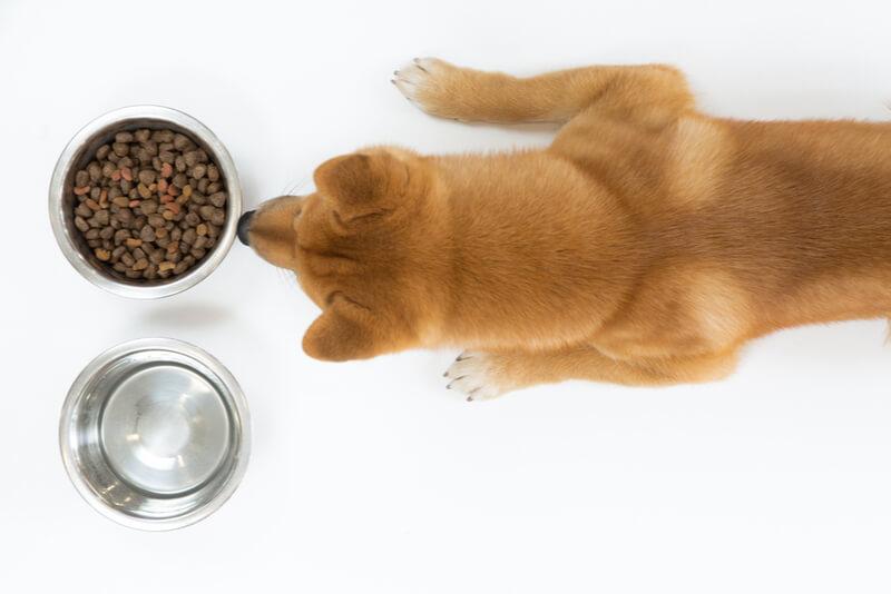 ドッグフードを食べようとする柴犬