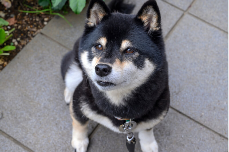 黒柴の高齢犬