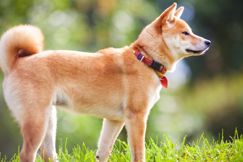 毛並みの良い柴犬