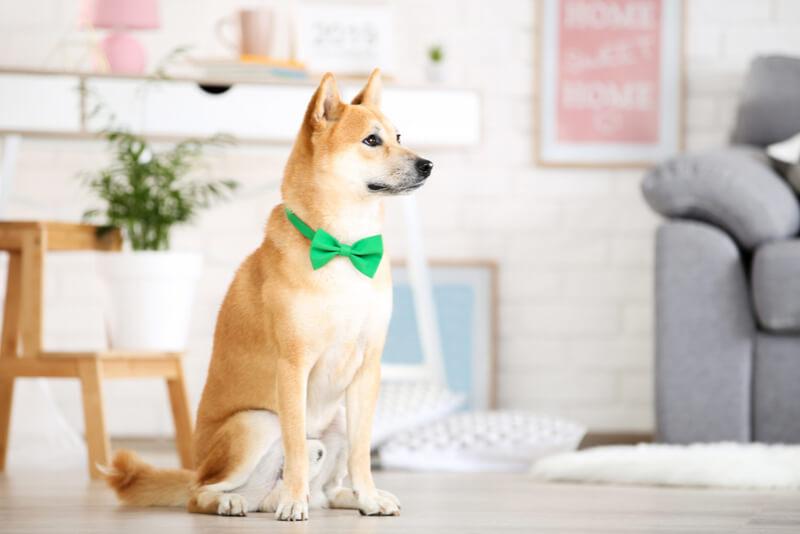 標準体型の柴犬
