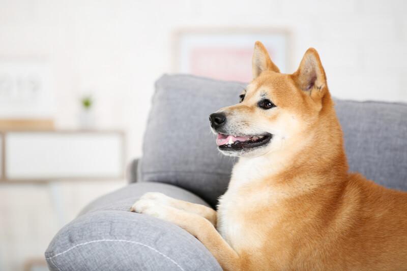 楽しそうにソファでくつろぐ柴犬