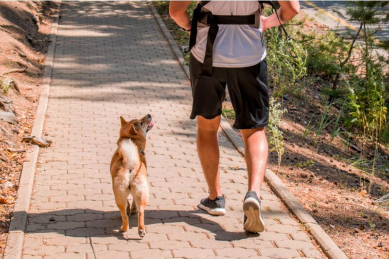 散歩をしている柴犬
