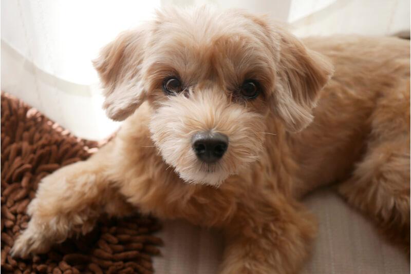 マルプーのかわいい成犬の顔