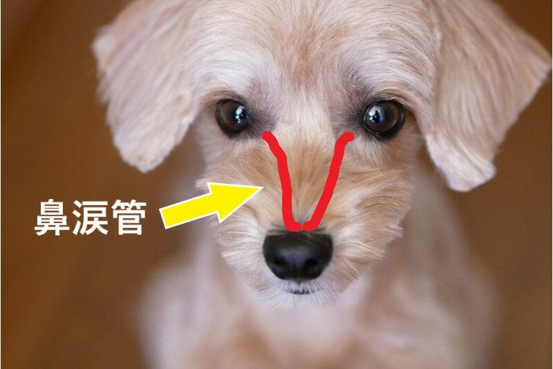 犬の涙やけが起こる鼻涙管のメカニズム