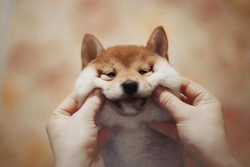あご肉と二重あごが魅力的な柴犬