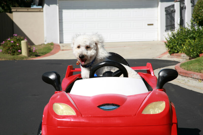 車を運転するマルプー