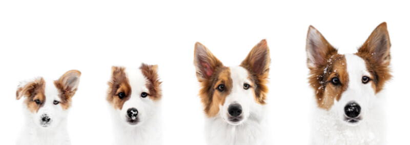 犬の成長段階と年齢別ドッグフード