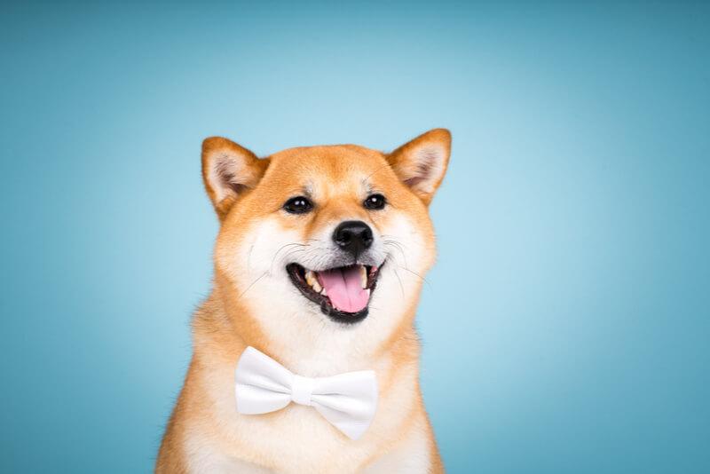 蝶ネクタイをつけた面白い柴犬