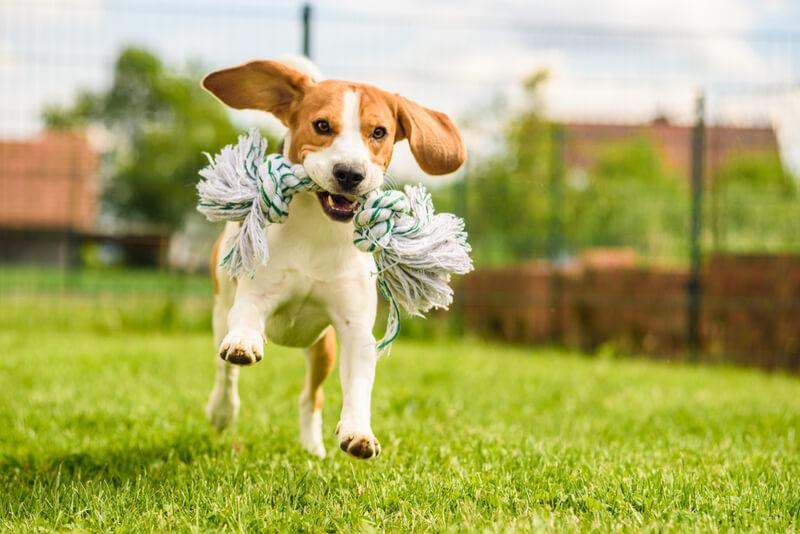 おもちゃをくわえて楽しそうに走る犬