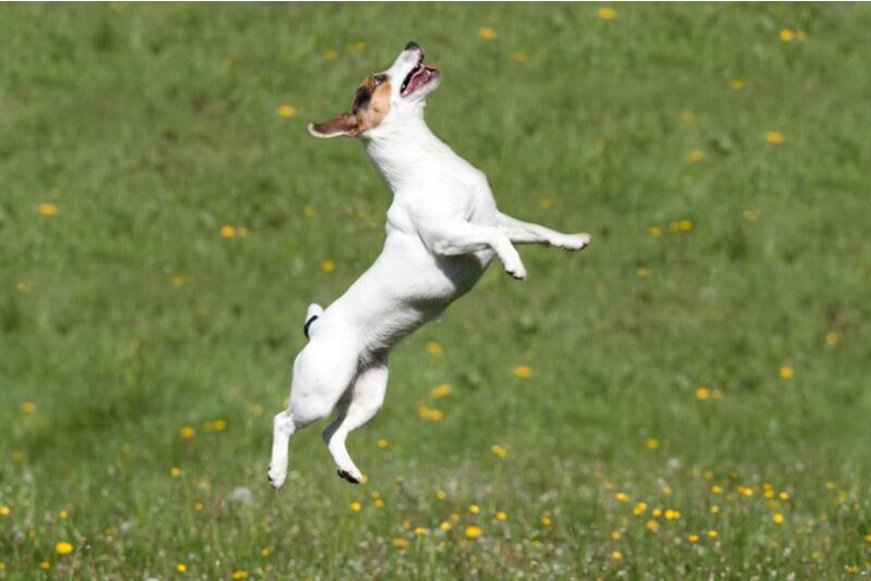 元気よくジャンプする犬