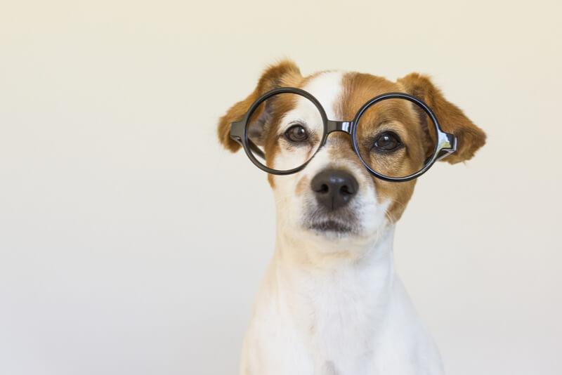 メガネをかけた賢い犬
