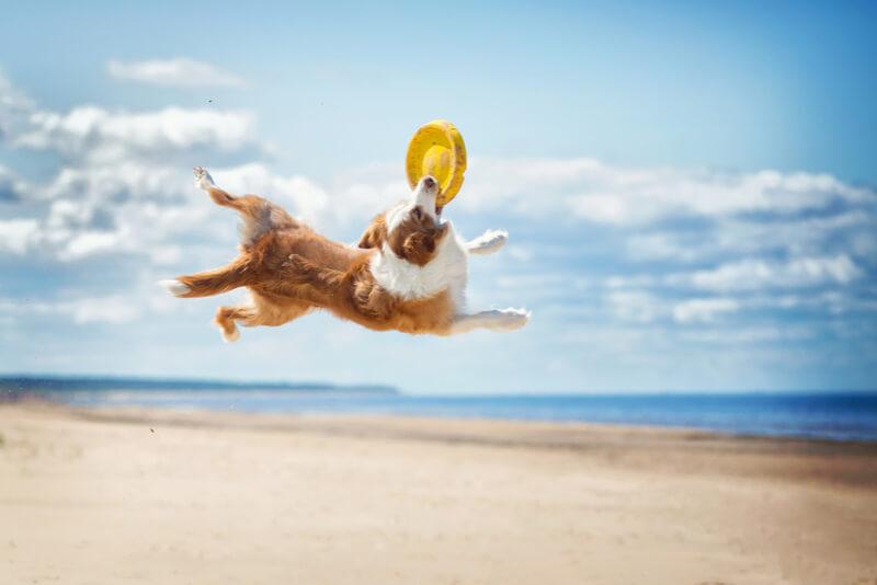 ジャンプしてフリスビーをキャッチする犬