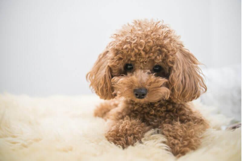 トイプードルはこんな犬!