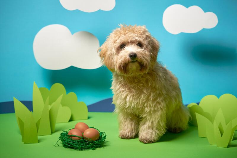 マルプーの成犬時の体重や大きさ、画像29枚で飼い主が教えます