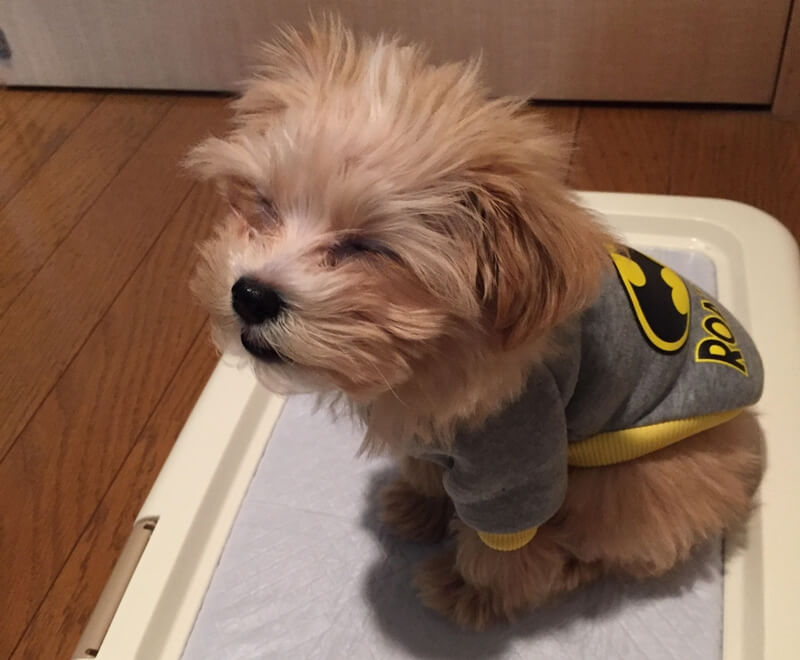 マルプーが子犬から成犬になるまでの成長記録