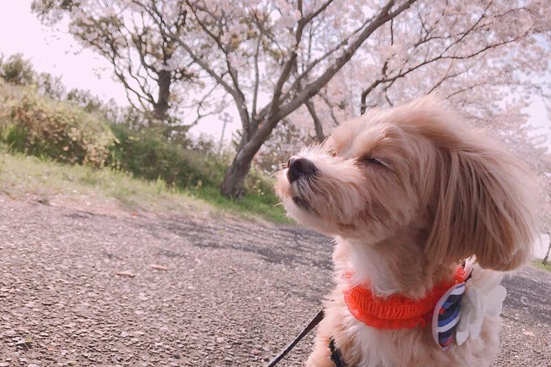 マルプー成犬