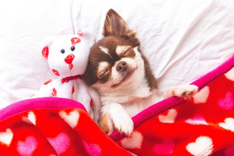 白いベッドにテディベアと寝ているチワワ