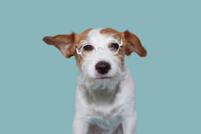 メガネをかけたシニア犬