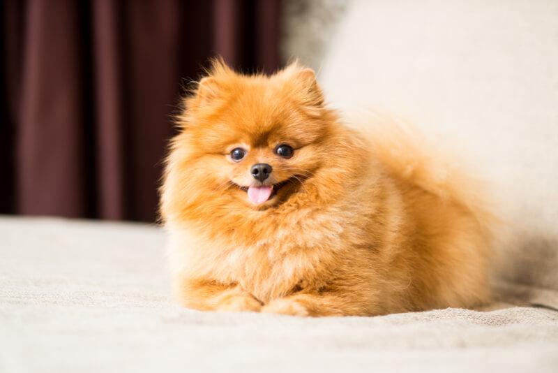 ポメラニアンのシニア犬