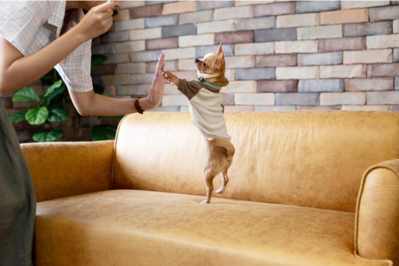 ソファーの上でジャンプするチワワ
