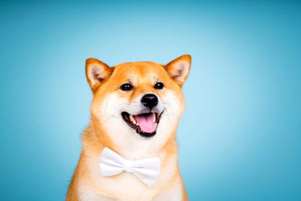 蝶ネクタイをした微笑む面白い柴犬