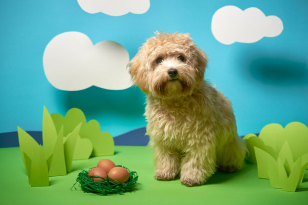 成犬マルプーの画像