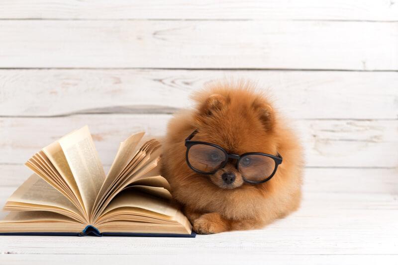 読書をするポメラニアン
