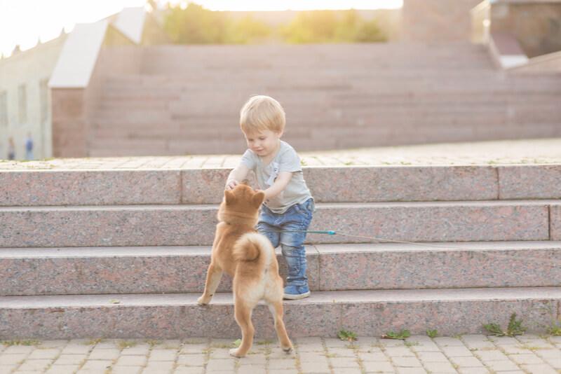 子供と遊ぶ柴犬